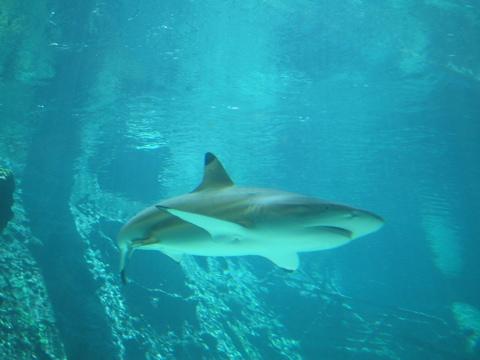 Shark at Reef HQ